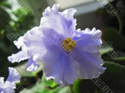 Violet flower with green leaves blooming in the house