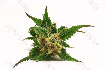 green cannabis bud