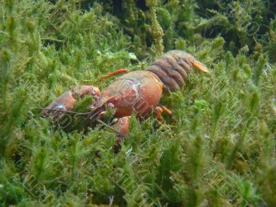 crayfish in the seagrass