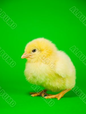 Newborn yellow chicken