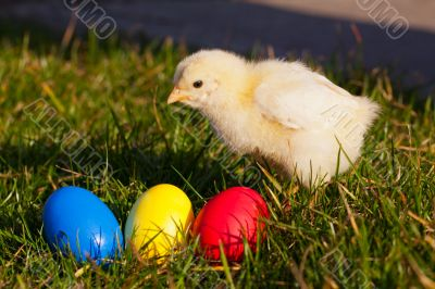 Small chicken with colorful Easter eggs