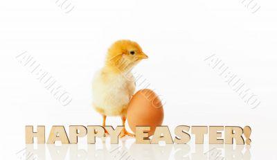 Newborn chicken with yellow egg