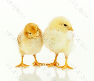 Two small newborn chickens