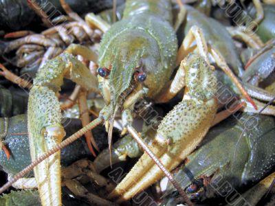 Photo of crayfish 1