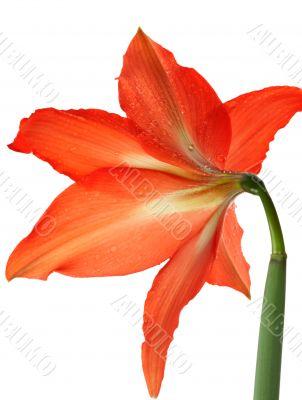 orange lily in the Rozsa drops