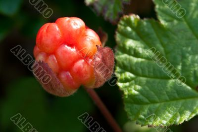 berry cloudberry