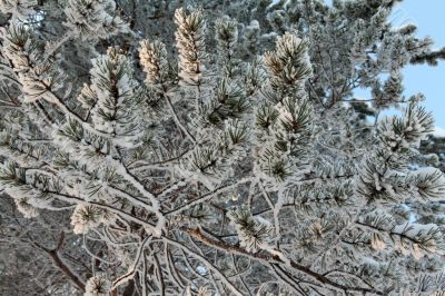 branches of pine trees in the snow