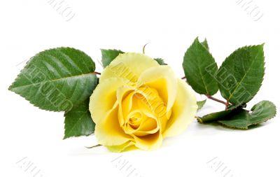 fresh yellow roses