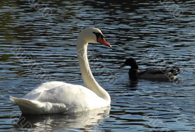 Swan and duck - communication