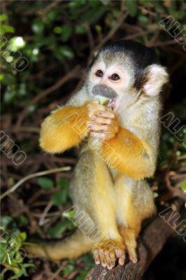 a funny little monkey