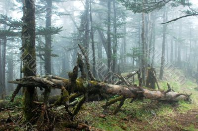 Virgin forest in a foggy morning