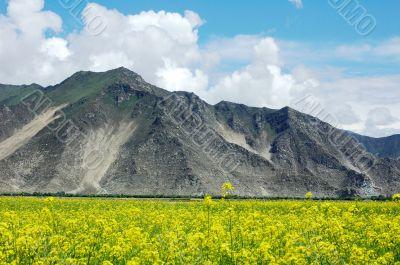 Landscape of rapeseed fields
