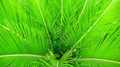 Green Hornbeam leaves