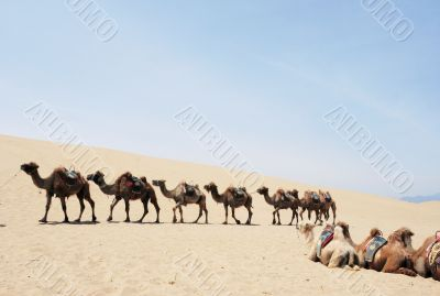 Camel safari in the deserts