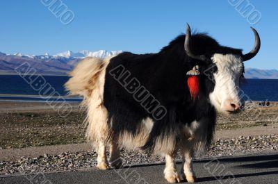 Tibetan yak at lakeside