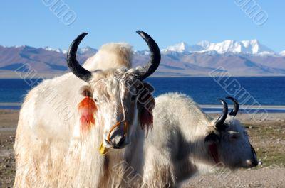 Tibetan white yaks