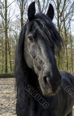 Funny black horse