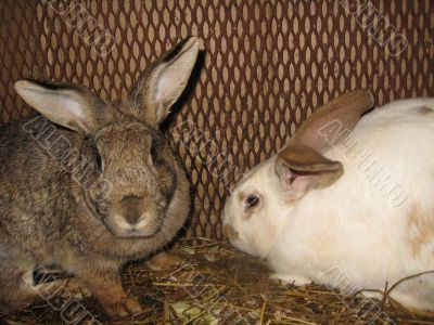 Pair domestic rabbits