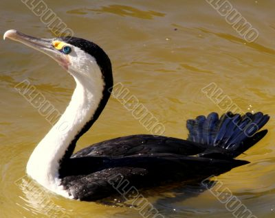 Australian Water Bird