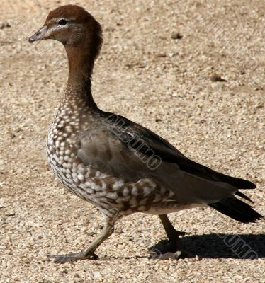 Australian Native Duck