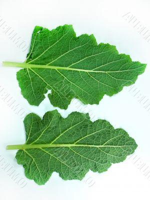 Leaf of a broccoli