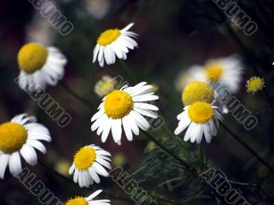 Bloom of mayweed