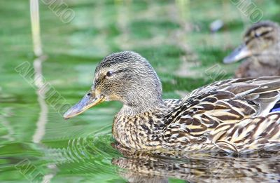 Wild female duck in the summer forest