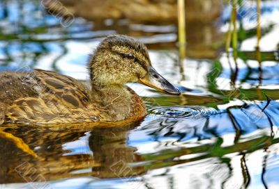 Forest pond and wild ducks