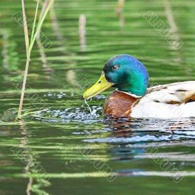 Forest pond and wild male duck