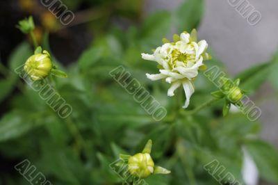 White dahila blooming in the garden summertime