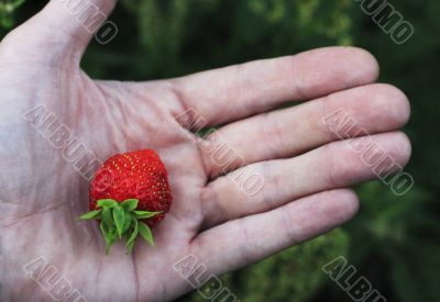 Man`s hand hold a last strawberry in the garden
