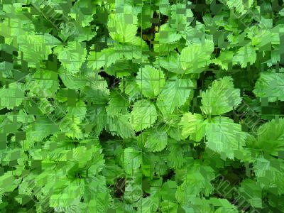 Green bushes of a strawberry in puzzles