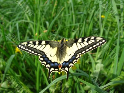 The beautiful butterfly of Papilio machaon