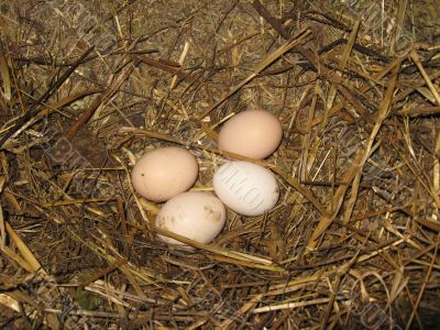 Nest of the hen with eggs