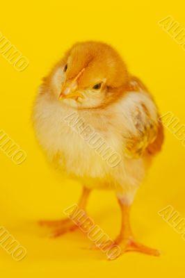 Small baby chicken