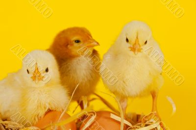 Three small baby chicken with eggs