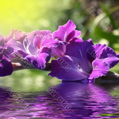 gladiolus in the water