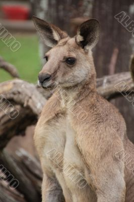 Large male Australian Kangaroo