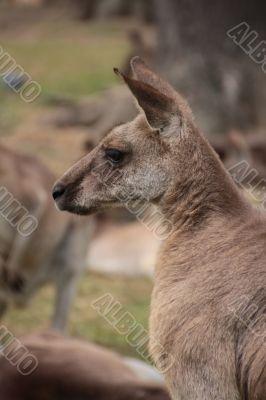 Large Australian Kangaroo
