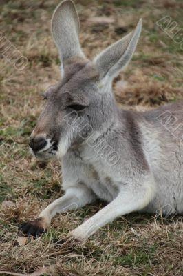 Grey Australian Kangaroo