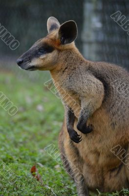 Small Australian Wallaby