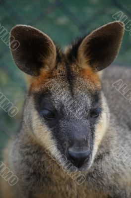 Small Australian Wallabu