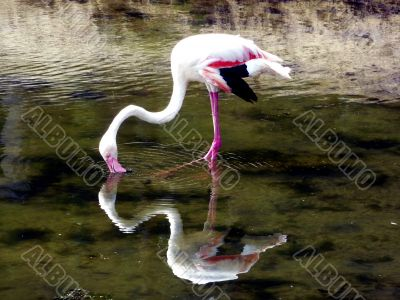 Flamingo in a Lake
