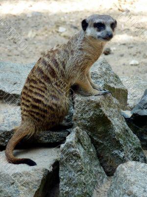 Meerkats and stones