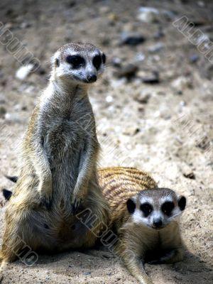 Meerkat standing and lying
