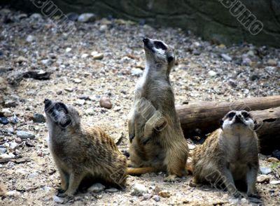 Meerkat triple gang