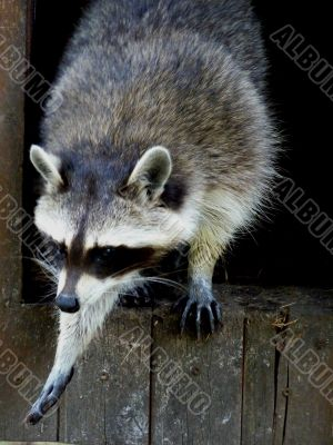 Raccoon in movement