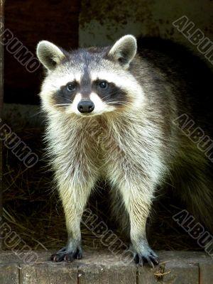 Raccoon in wooden house