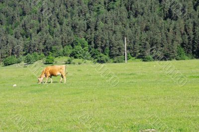 Lonely cow eat the grass on the summer alp meadow