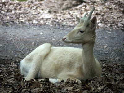 white hind-sight to the left